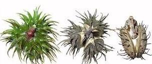 castornut