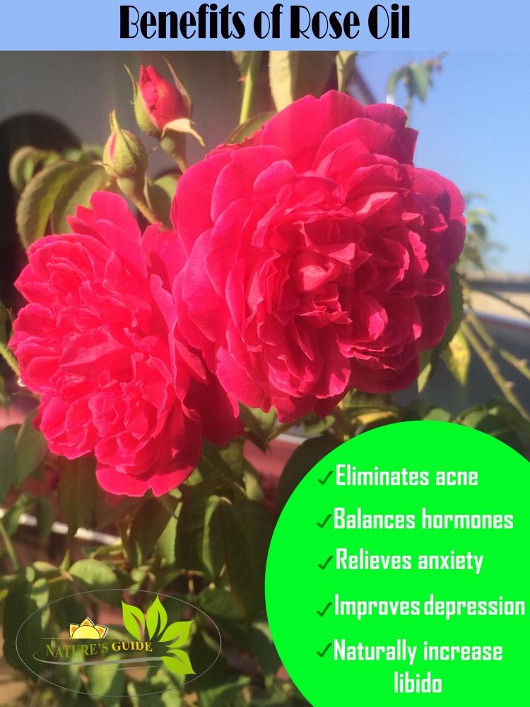 benefits of rose oil meme.jpg